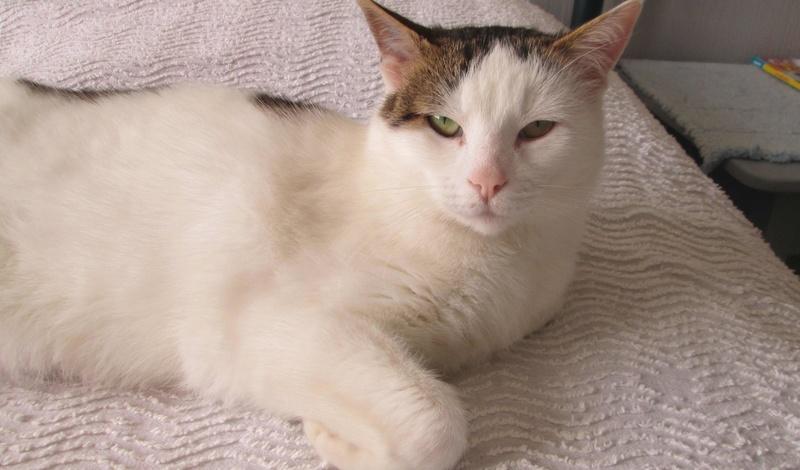 JENNIFER, chatte européenne blanche et tigrée, née en 2014. Jennif14