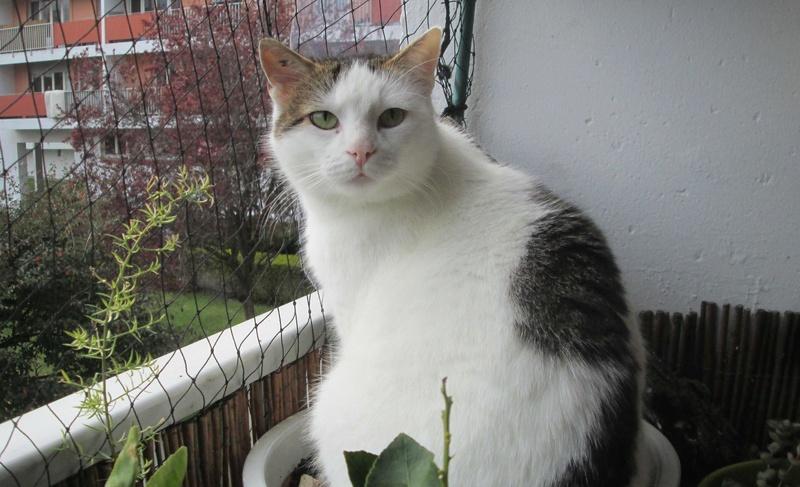 JENNIFER, chatte européenne blanche et tigrée, née en 2014. Jennif15