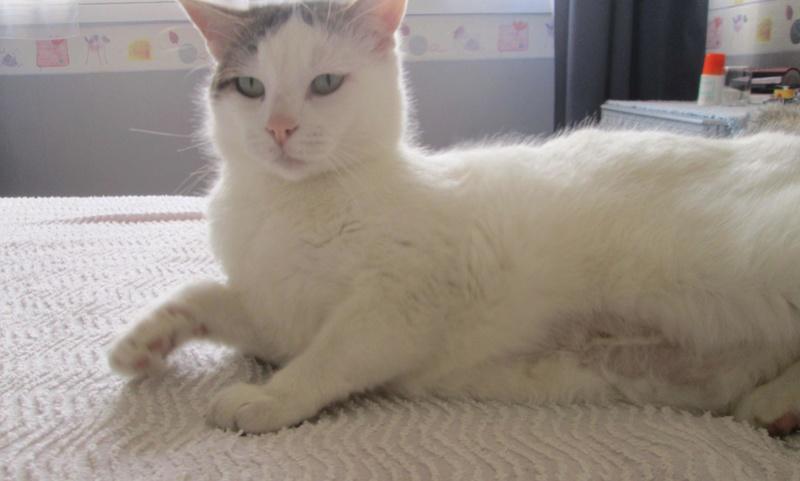 JENNIFER, chatte européenne blanche et tigrée, née en 2014. Jennif16