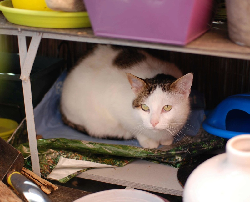 JENNIFER, chatte européenne blanche et tigrée, née en 2014. Jennif17