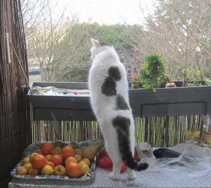 JENNIFER, chatte européenne blanche et tigrée, née en 2014. Jennif18