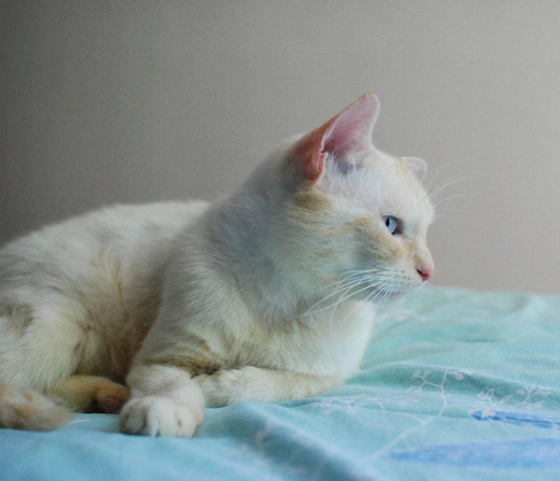 LUPIN, chat européen, red point, né en juin 2015 Lupin_44