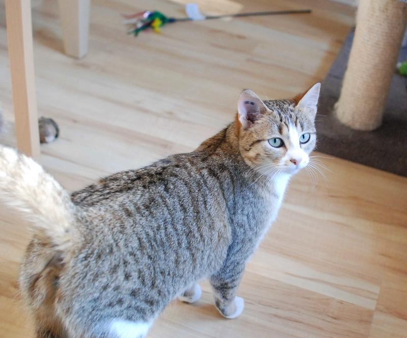 MALIKI, chatte européenne tigrée & blanche, née en mai 2016. Maliki13