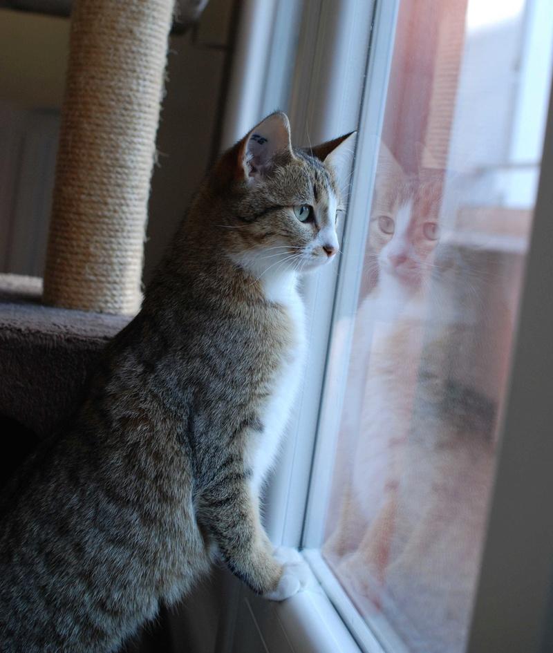 MALIKI, chatte européenne tigrée & blanche, née en mai 2016. Maliki16