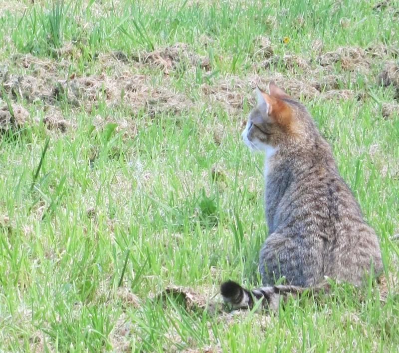 MALIKI, chatte européenne tigrée & blanche, née en mai 2016. Maliki19