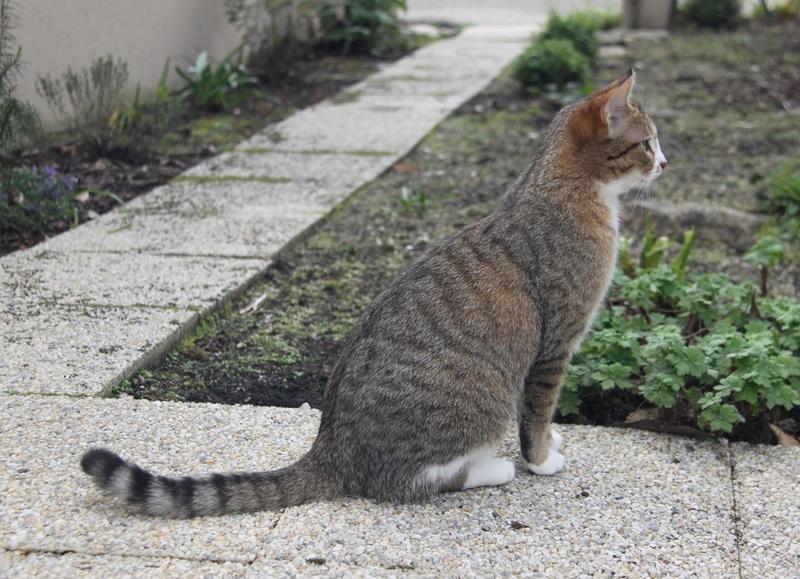 MALIKI, chatte européenne tigrée & blanche, née en mai 2016. Maliki22