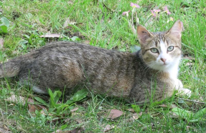MALIKI, chatte européenne tigrée & blanche, née en mai 2016. Maliki25