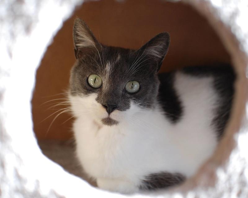 manon - MANON, jeune chatte européenne, Grise&blanche, née en mai 2016. Manon_11