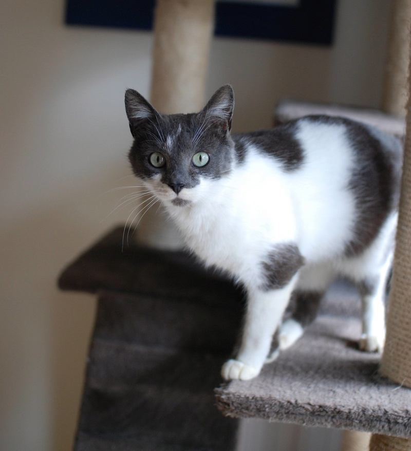 manon - MANON, jeune chatte européenne, Grise&blanche, née en mai 2016. Manon_13
