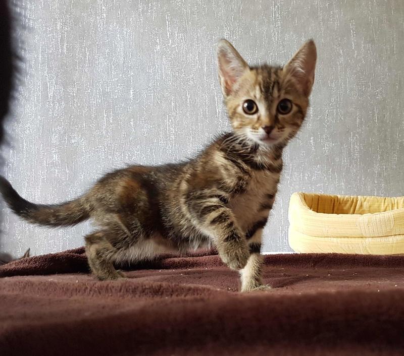 Nina chatonne néé le 2 avril 2017 Tigrée Grise  Nina110