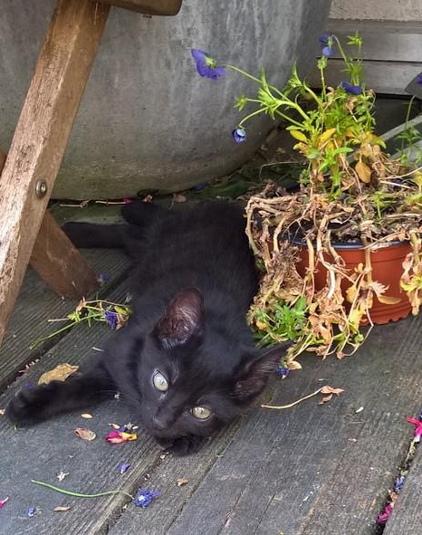 NERON, petit chaton mâle noir, né en Mars 2017 Wp_20123