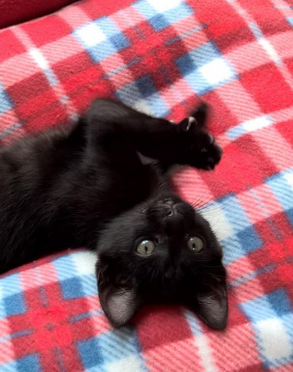 NERON, petit chaton mâle noir, né en Mars 2017 Wp_20125