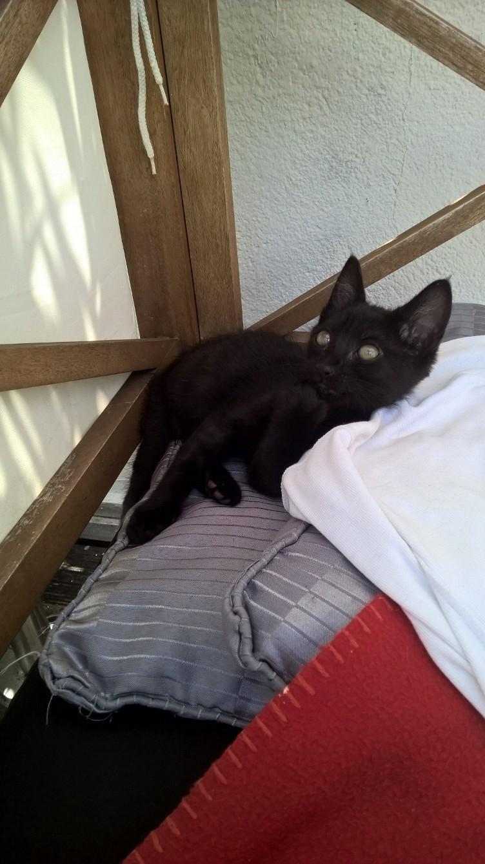 NERON, petit chaton mâle noir, né en Mars 2017 Wp_20126