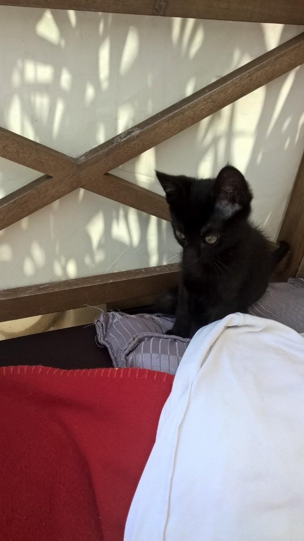 NERON, petit chaton mâle noir, né en Mars 2017 Wp_20128