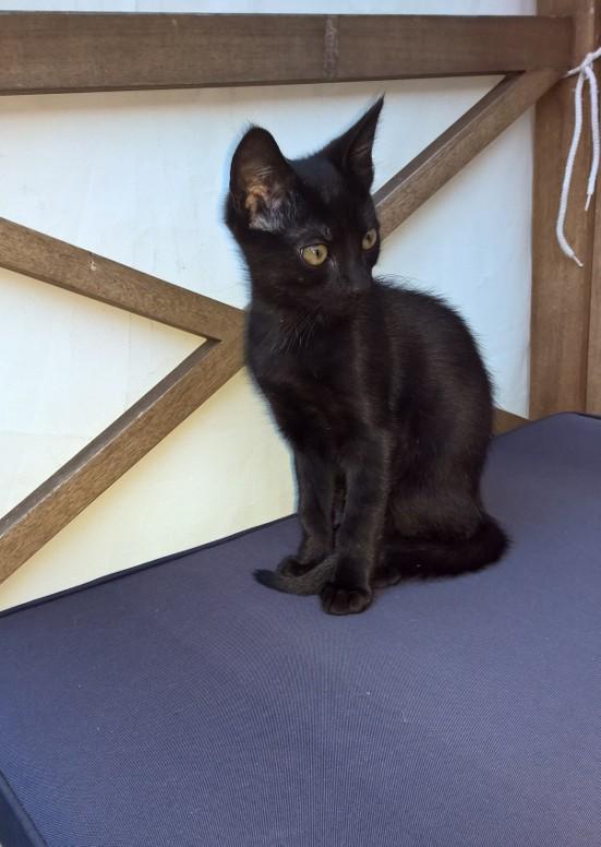 NERON, petit chaton mâle noir, né en Mars 2017 Wp_20130