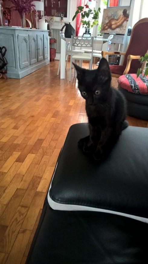 NERON, petit chaton mâle noir, né en Mars 2017 Wp_20131