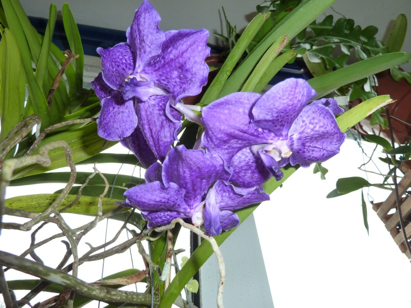 Orchideen - Seite 52 Ascoce10