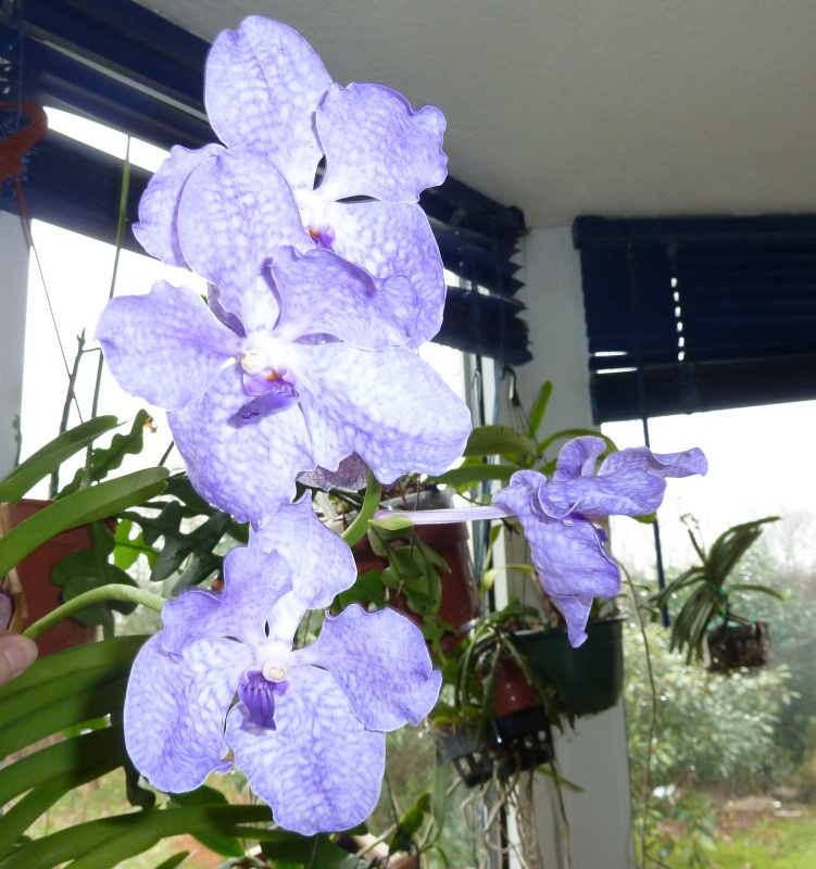 Orchideen - Seite 52 Ascoce11