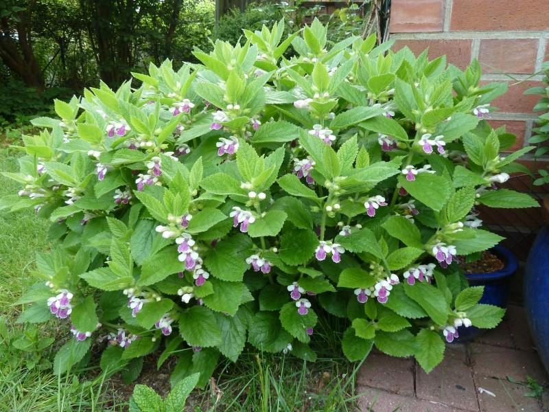 Begleitpflanzen der Kakteen in Haus und Garten - Seite 21 Melitt10