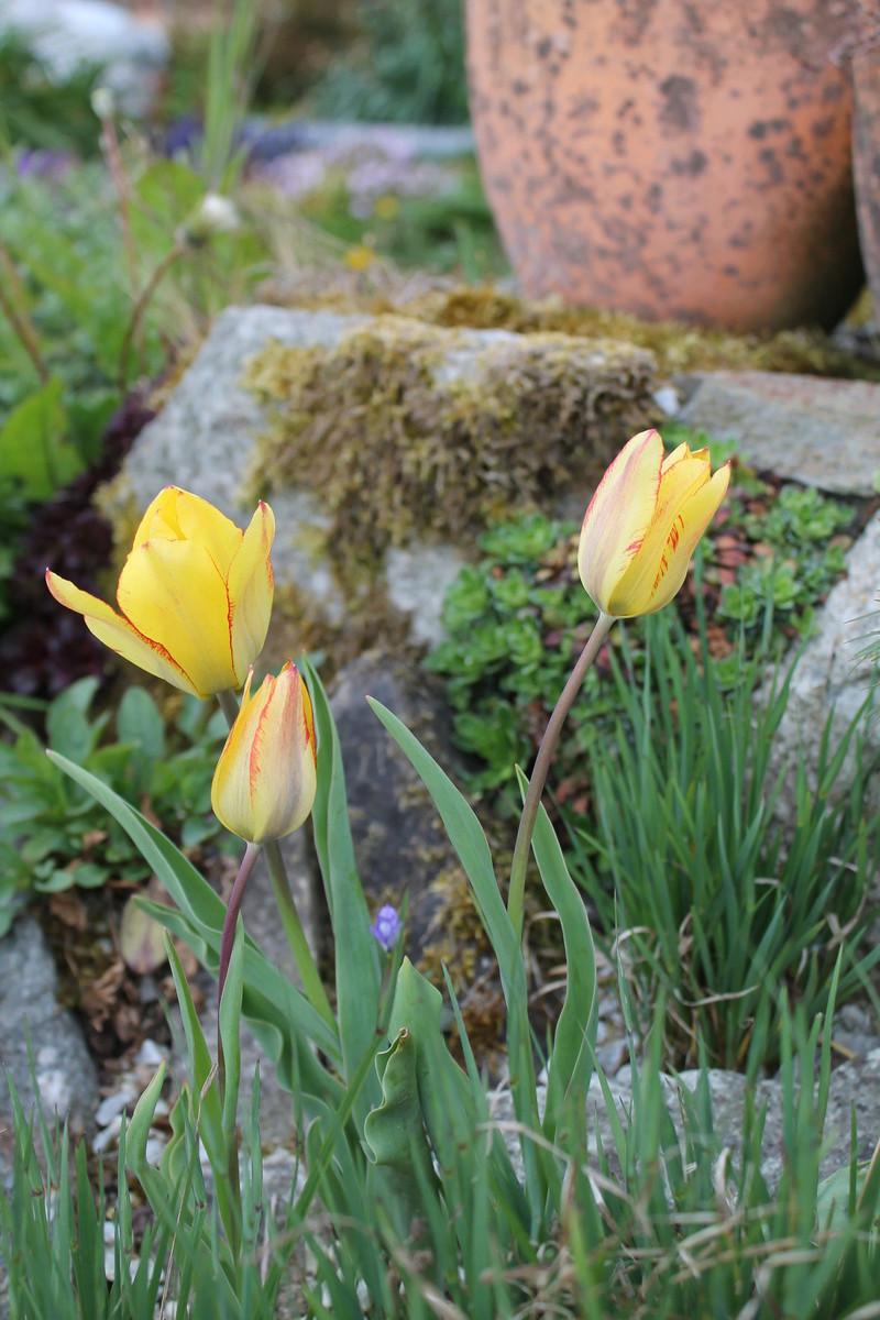 Tulipa grengiolensis Img_1413