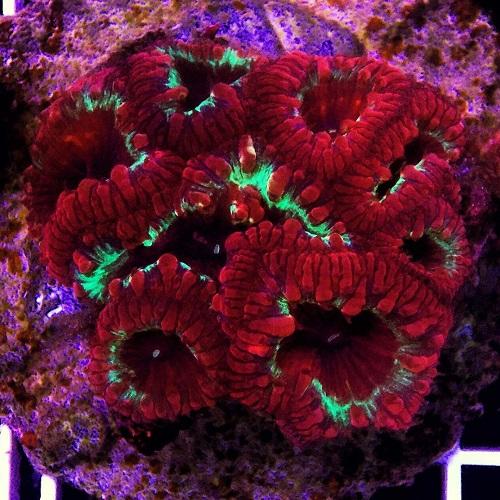 Java Reef weekly sale (LPS Coral Only) dari Sabtu, 13 Mei 2017 - Minggu, 20 Mei 2017.  Img-2016