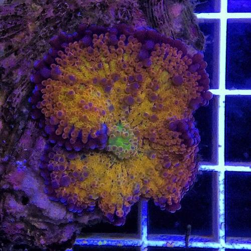 Java Reef weekly sale (LPS Coral Only) dari Sabtu, 13 Mei 2017 - Minggu, 20 Mei 2017.  Img-2017