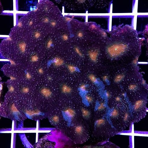 Java Reef weekly sale (LPS Coral Only) dari Sabtu, 13 Mei 2017 - Minggu, 20 Mei 2017.  Img-2023
