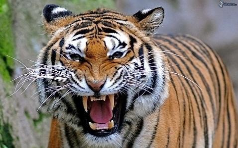 KATY PERRY - Pagina 2 Tigre10