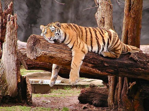 Cogito ergo sum - Pagina 2 Tigre_10