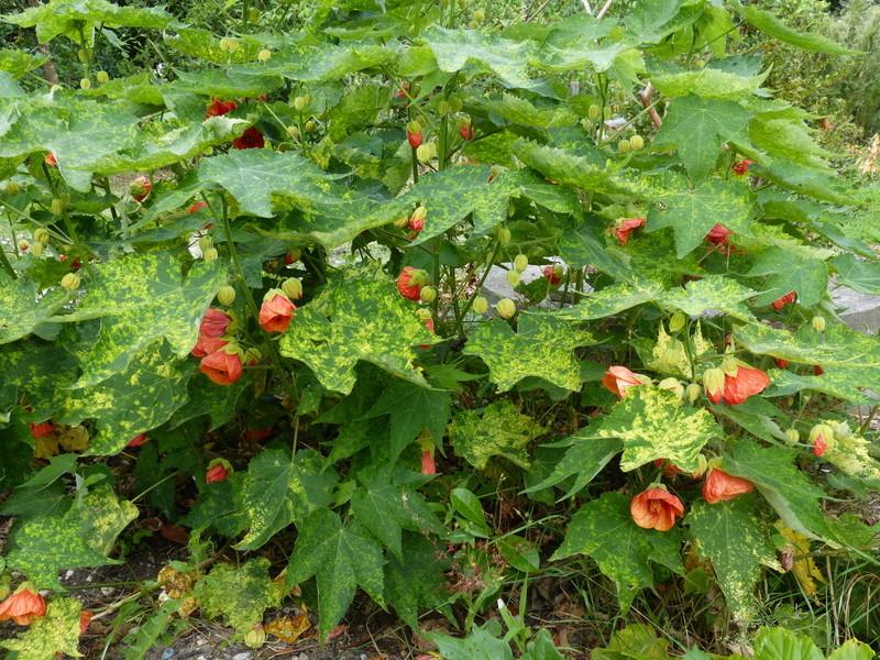 ces quelques fleurs de nos jardins - Page 3 Abutil10