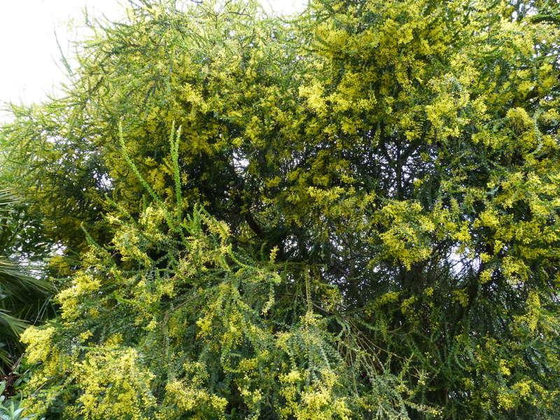 Acacia pravissima - mimosa Acacia10
