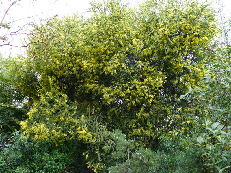 Acacia pravissima - mimosa Acacia11