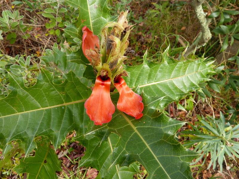 Acanthus eminens et Melianthus comosus [devinette] Acanth10