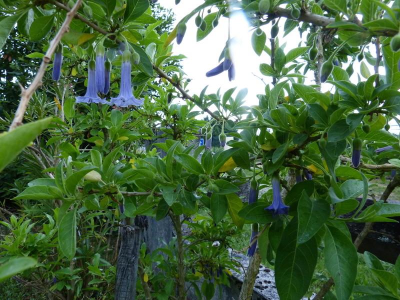 ces quelques fleurs de nos jardins Acnist11