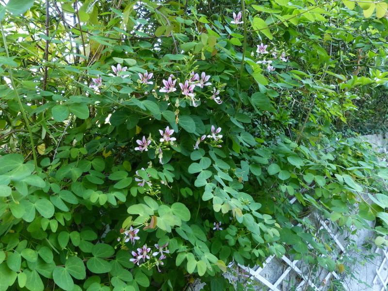 ces quelques fleurs de nos jardins - Page 2 Bauhin12