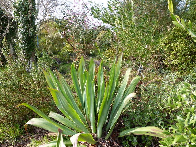 Beschorneria yuccoides - Page 3 Bescho10