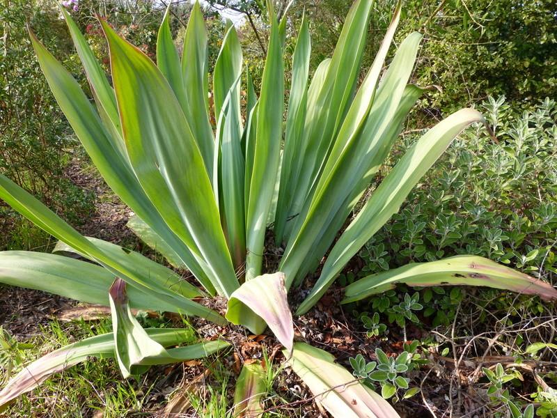 Beschorneria yuccoides - Page 3 Bescho11