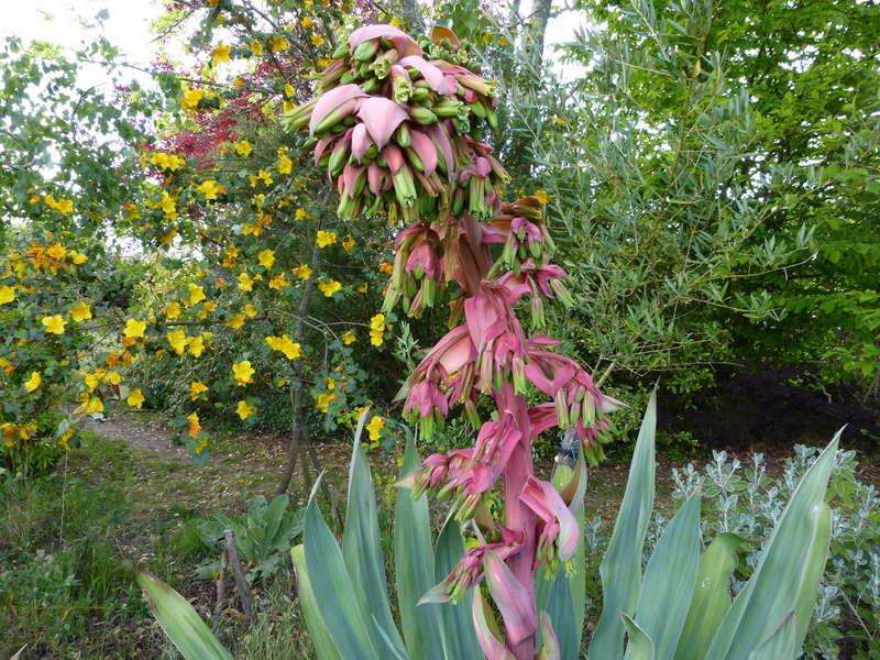 Beschorneria yuccoides - Page 3 Bescho14