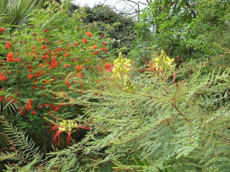 Caesalpinia gilliesii (= Poinciana gilliesii) - petit flamboyant Caesal10