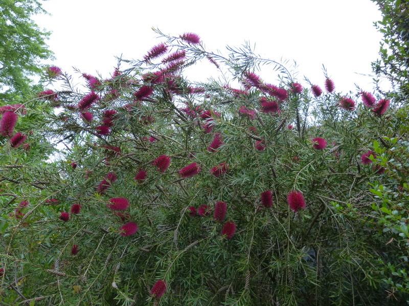 ces quelques fleurs de nos jardins - Page 2 Callis19