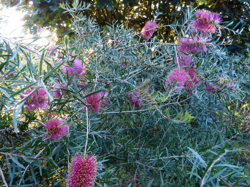 ces quelques fleurs de nos jardins - Page 2 Callis20