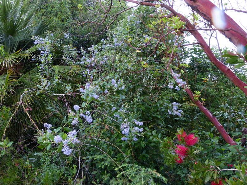 ces quelques fleurs de nos jardins Ceanot14