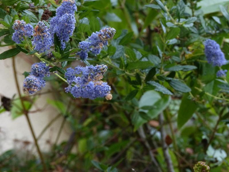 ces quelques fleurs de nos jardins Ceanot15