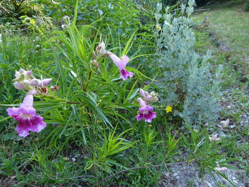 ces quelques fleurs de nos jardins - Page 2 Chilop11