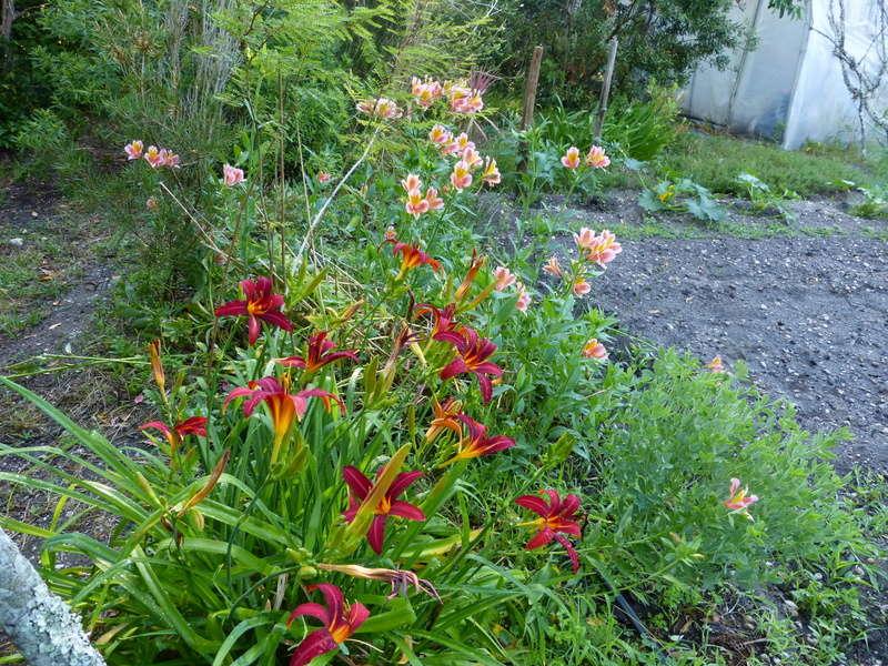 ces quelques fleurs de nos jardins - Page 3 Hemero11