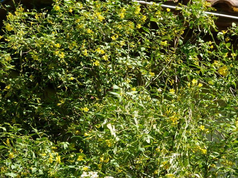 Jasminum humile (var. revolutum) Jasmin10