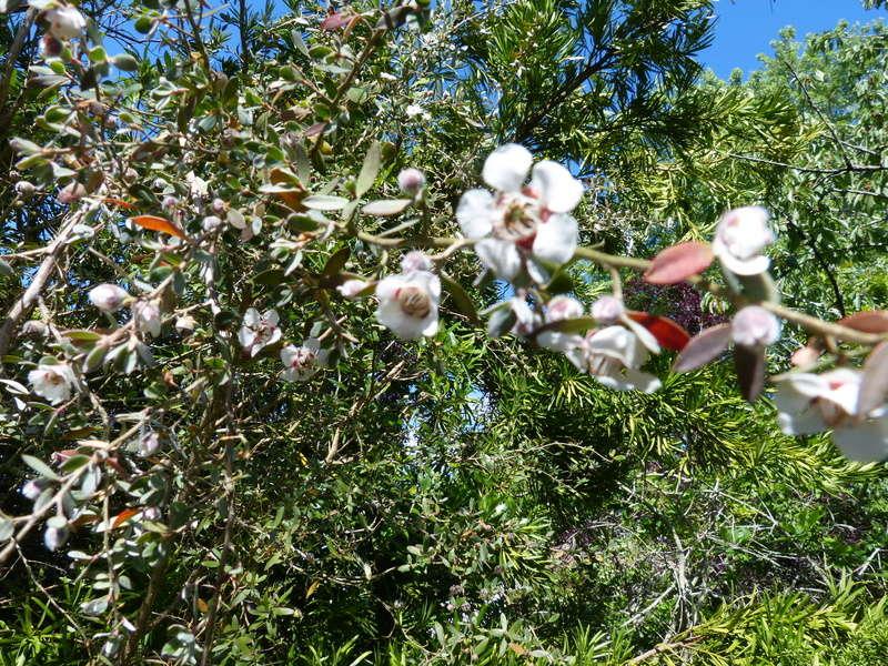 ces quelques fleurs de nos jardins - Page 2 Leptos12