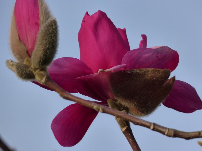 Magnolia 'Vulcan' Magnol10