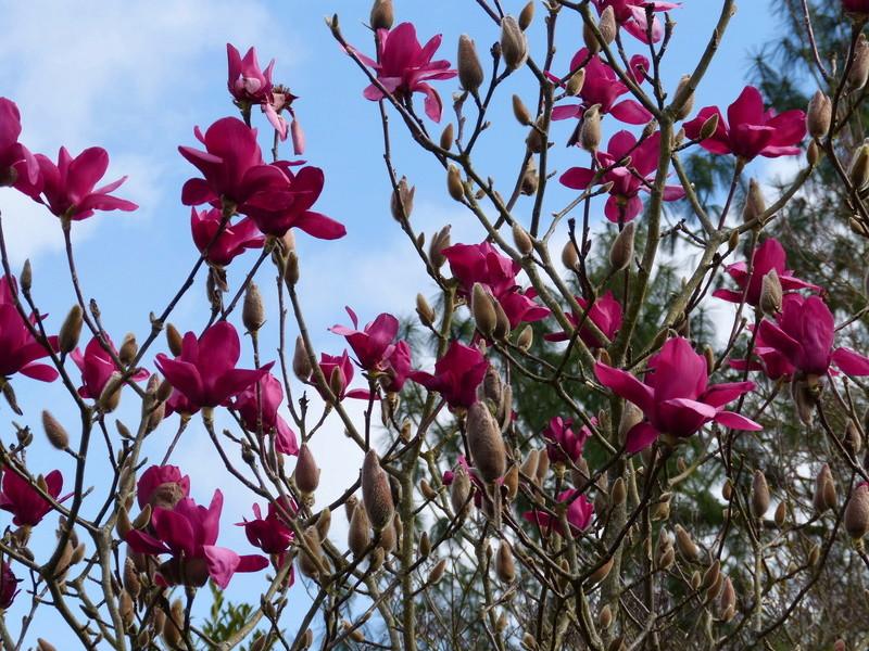 Magnolia 'Vulcan' Magnol11