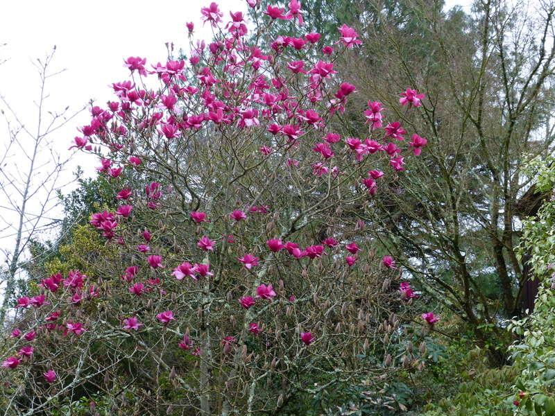 Magnolia 'Vulcan' Magnol15
